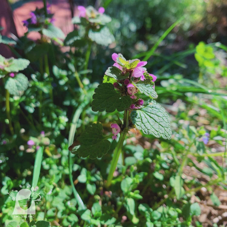 roślina jasnota purpurowa